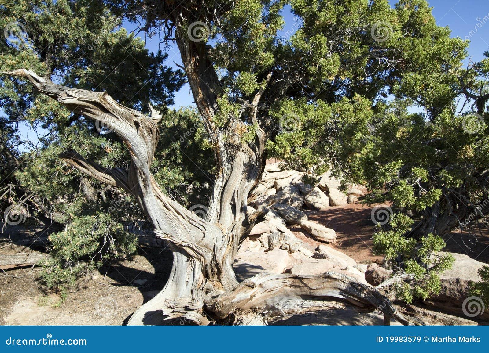 Utah Juniper Tree, Juniperus osteosperma