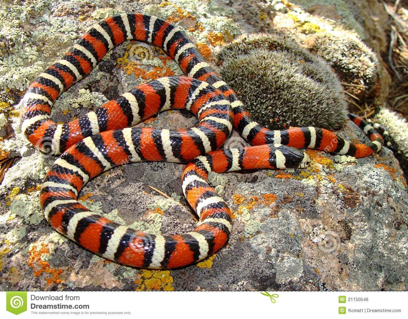 Utah Mountain Kingsnake (King Snake)