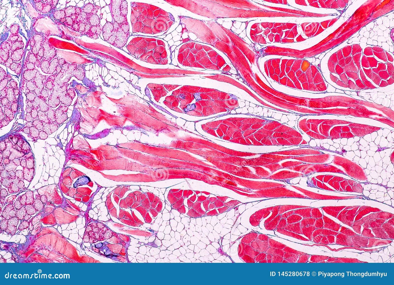 Utbildningsanatomi och livsfunktioner av tungan under det mikroskopiskt