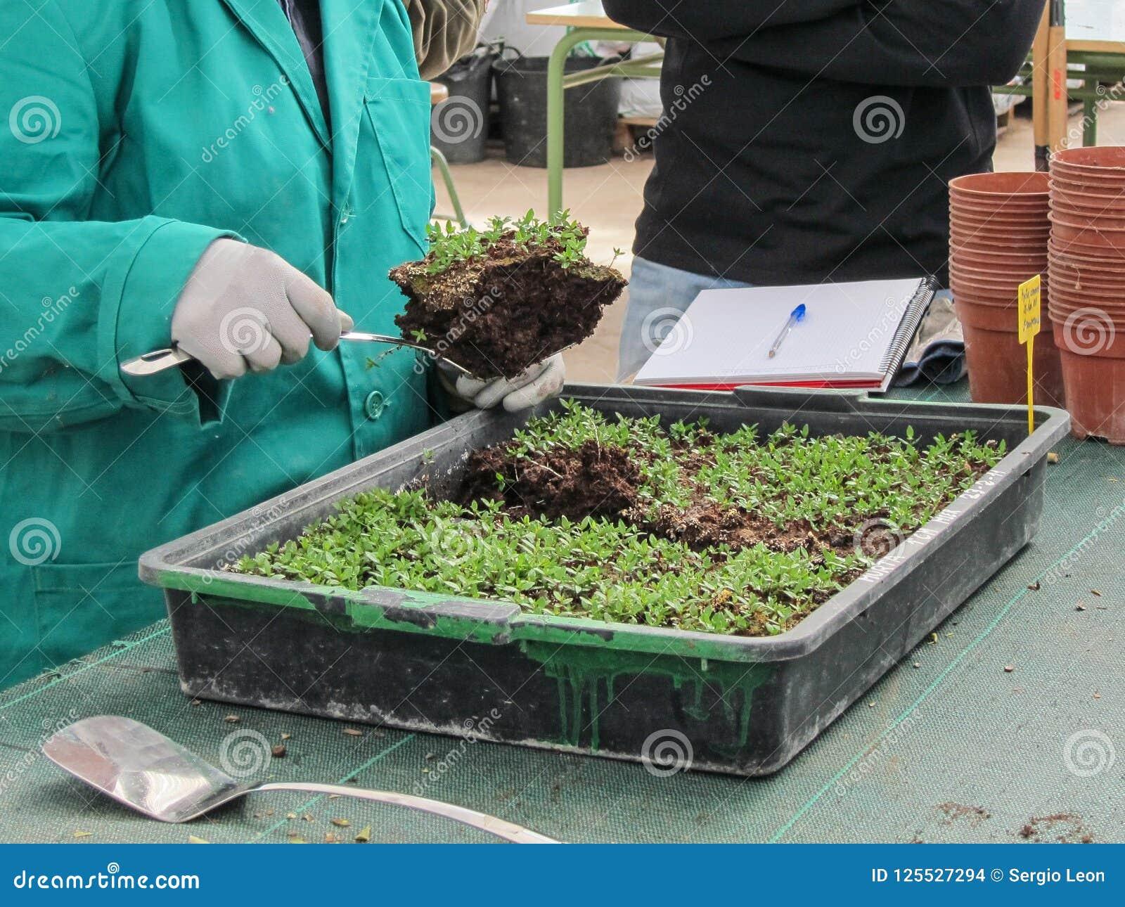 Utdragning av knoppar i växt lägger in i en växtbarnkammare