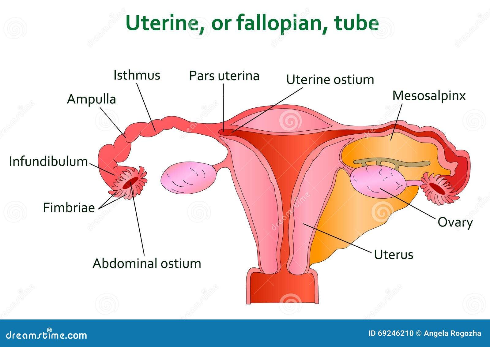 uterine and follopian diagram stock vector