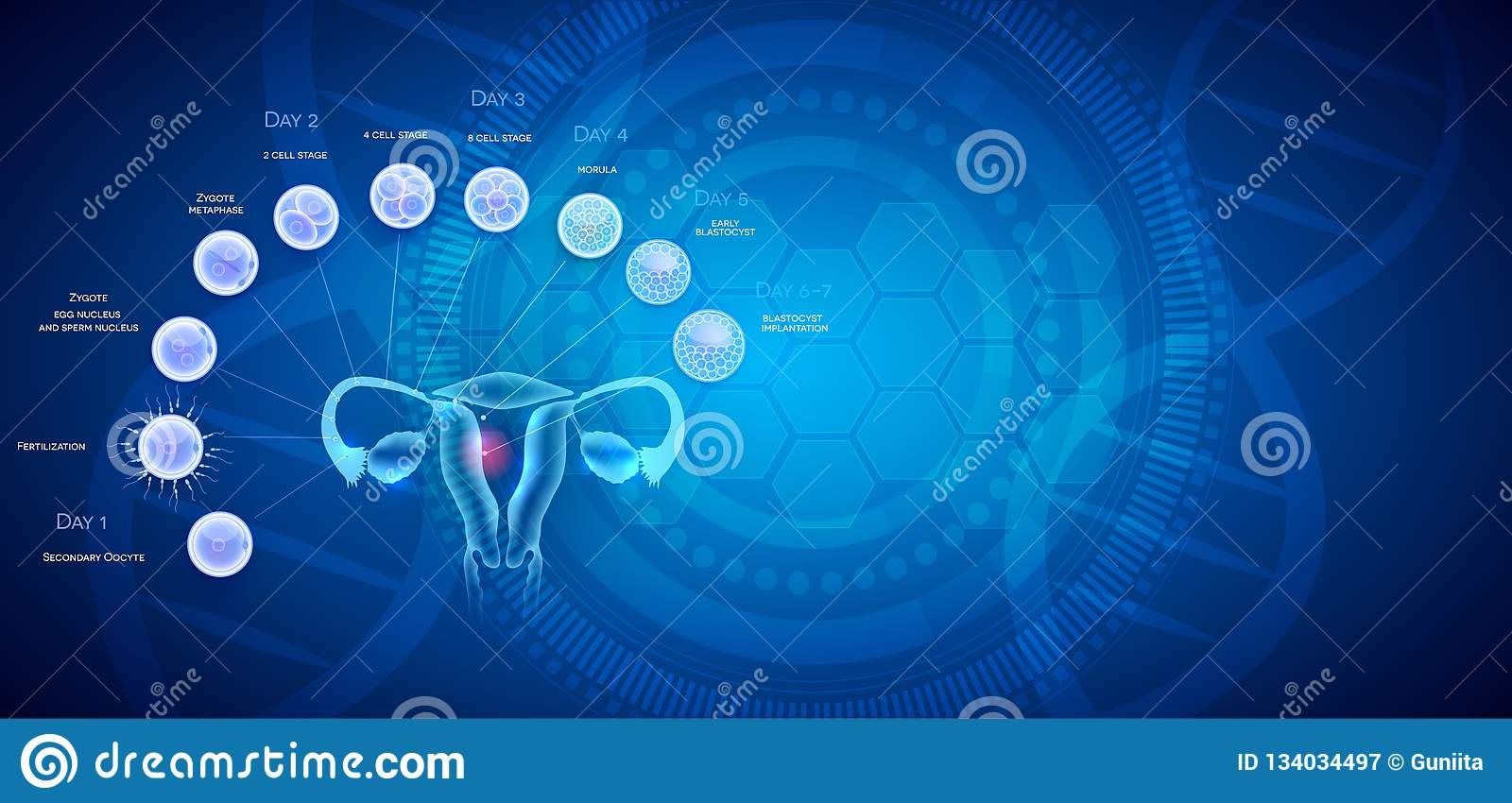 Uterus Anatomy Cell Fertilization Implantation Stock Vector