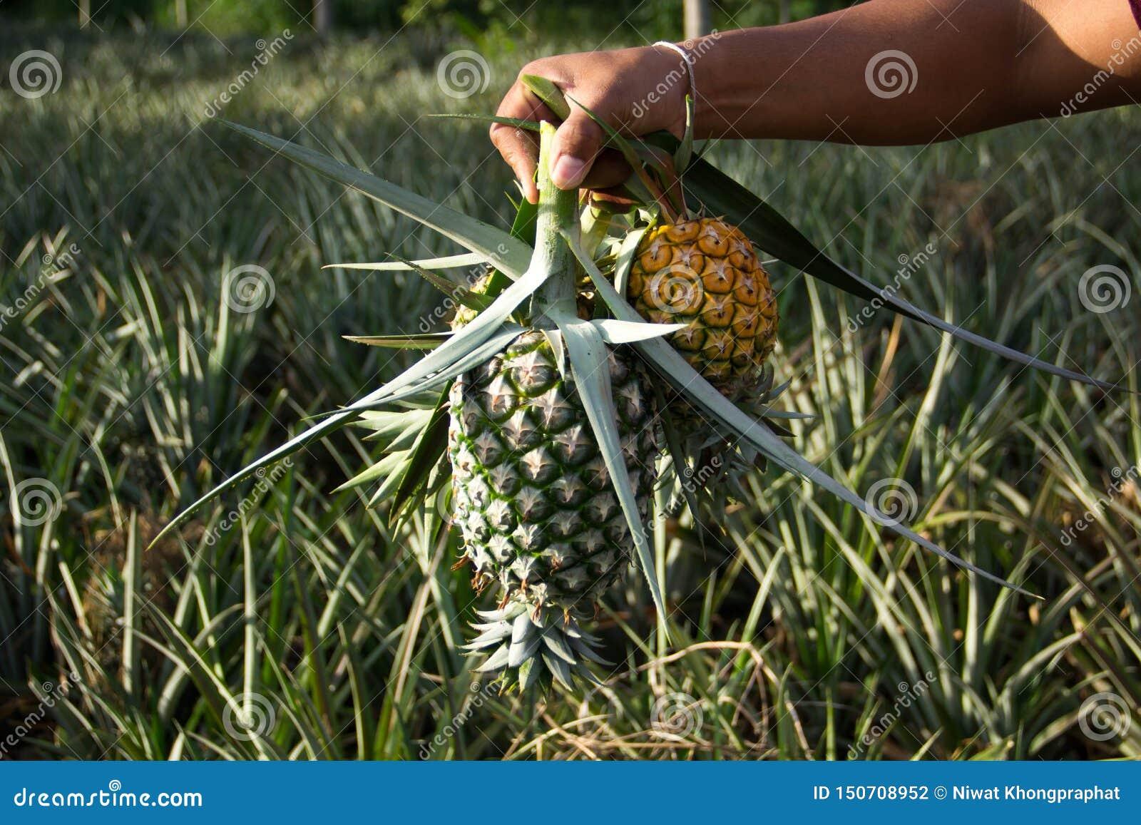 Utrzymuje ananasa gotujący przy ogródem
