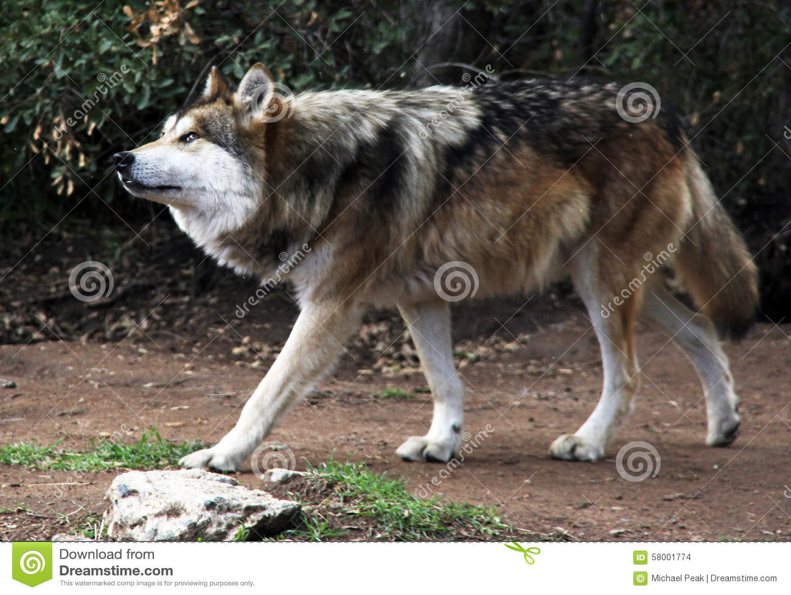 Utsatt för fara mexikan Gray Wolf