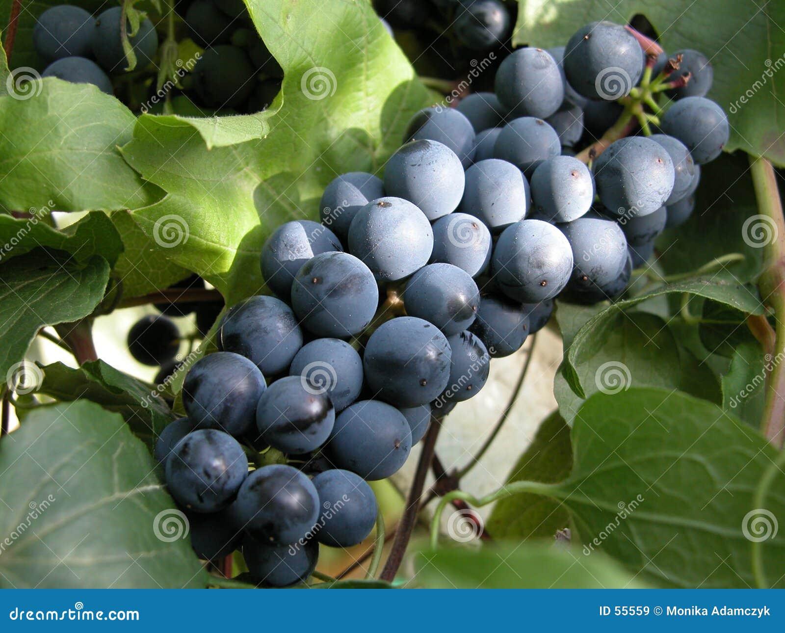 Uva azul