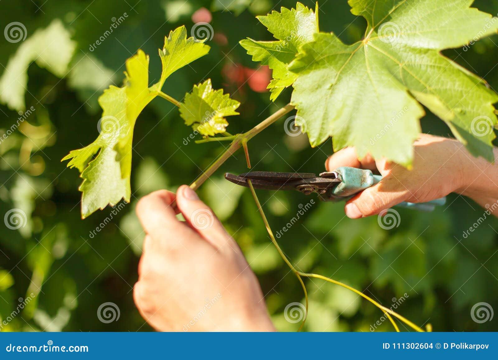 Uva del corte de la mano del ` s del viticultor en el viñedo por el tiempo soleado
