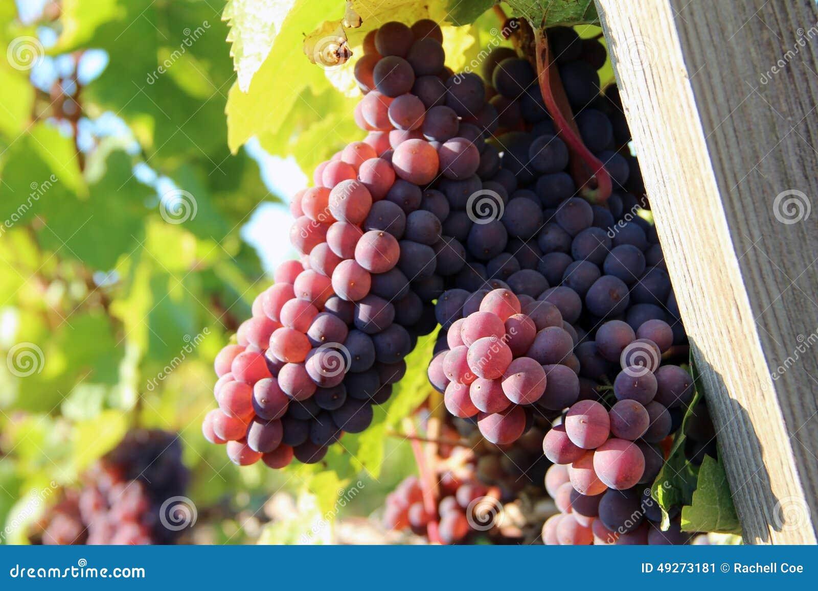 Uva matura del vino rosso