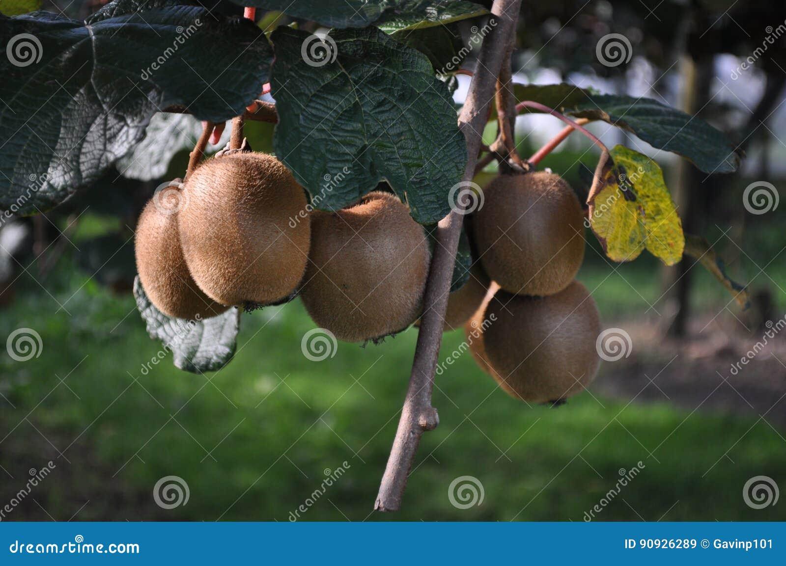 Uva spina cinese di Kiwi Fruit che cresce sulla vite