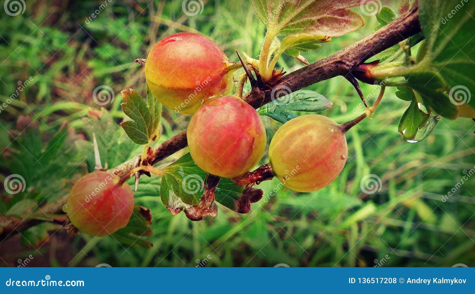 Uva spina sul ramo nel giardino