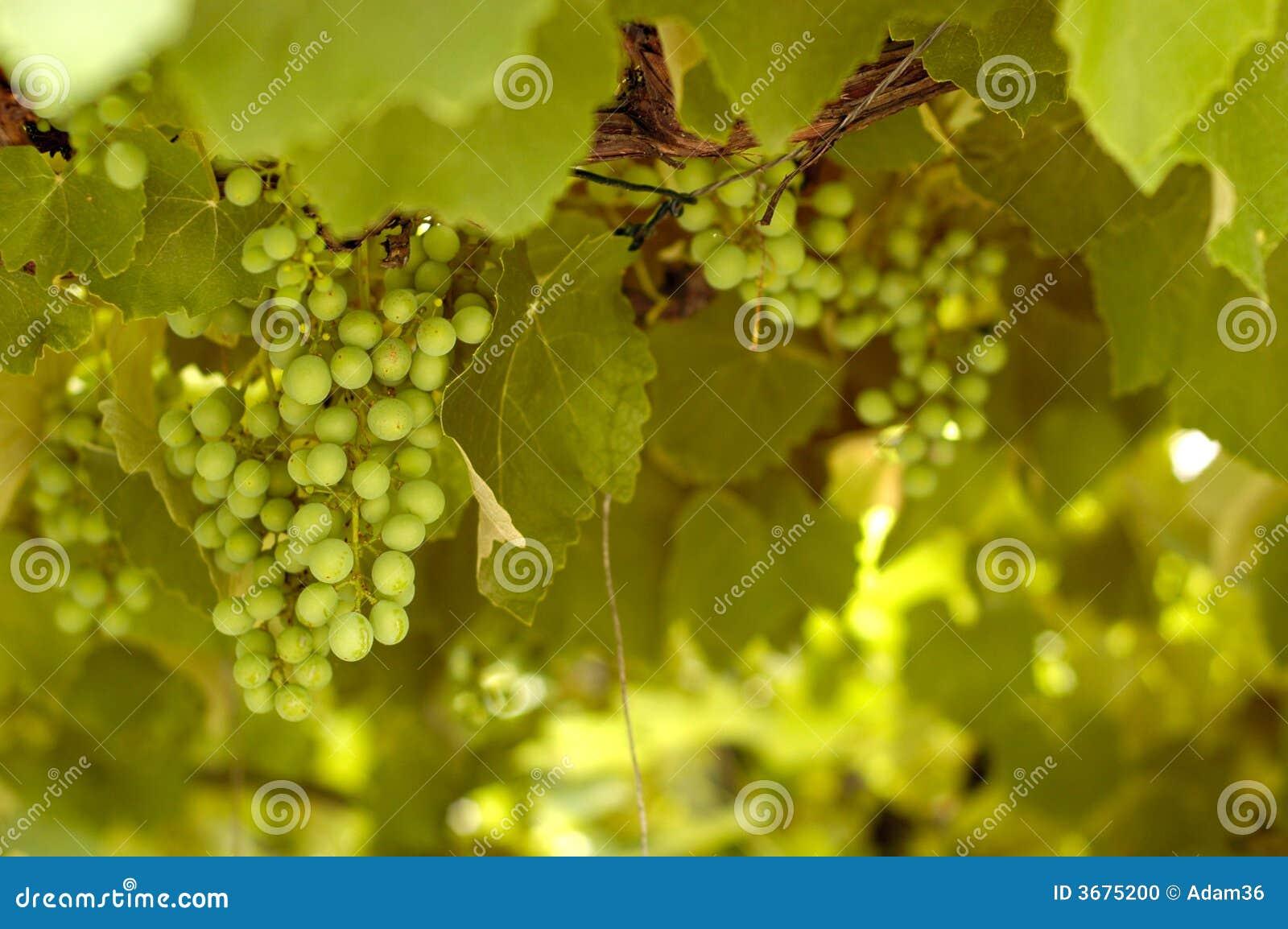 Download Uva verde fotografia stock. Immagine di alimento, raccolta - 3675200