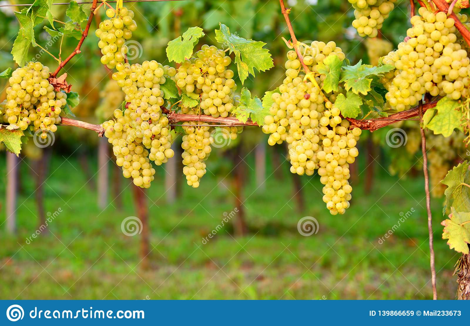 Uvas brancas no outono