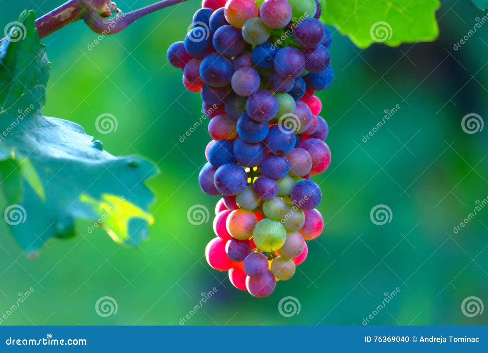 Uvas de vino azules de maduración