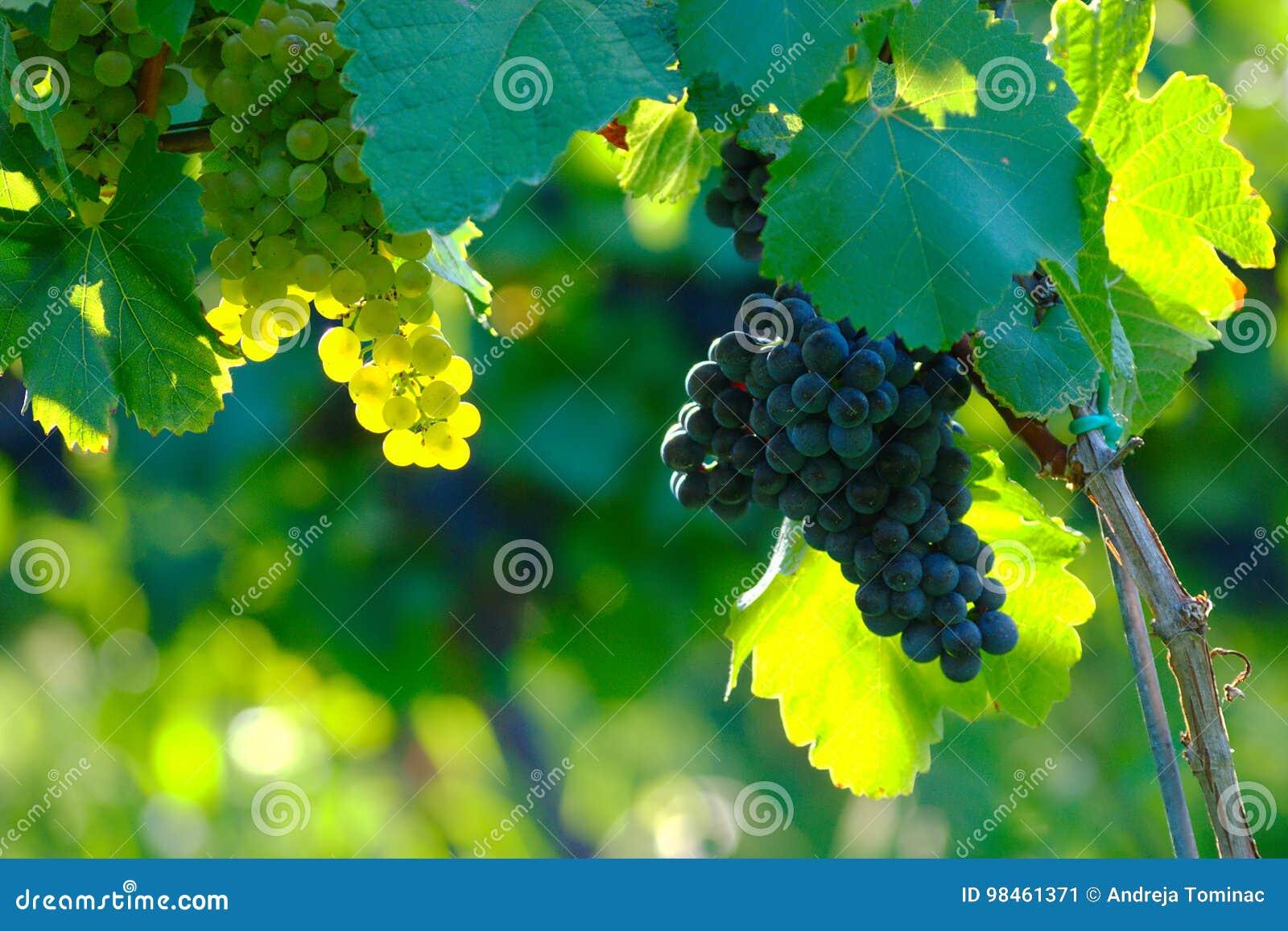 Uvas de vino en el viñedo, Maribor, Eslovenia