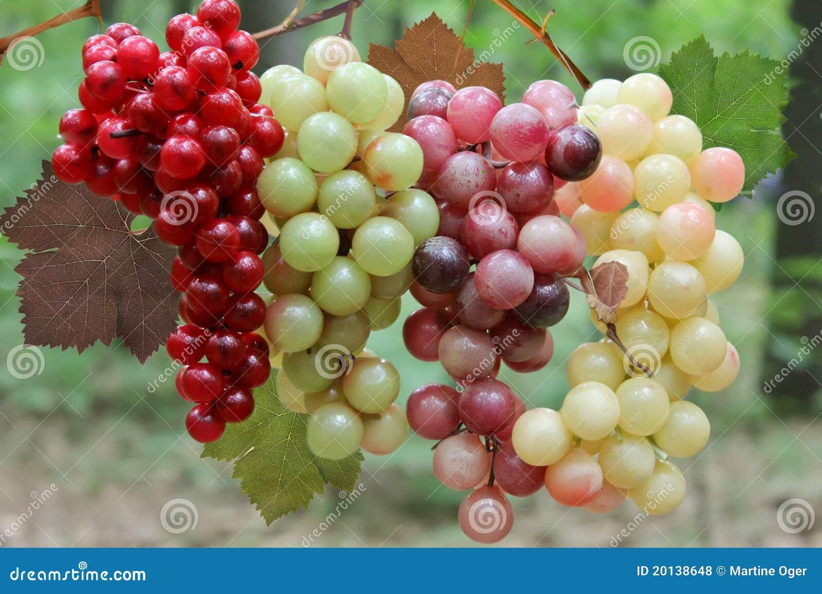 Uvas de vino en la vid.