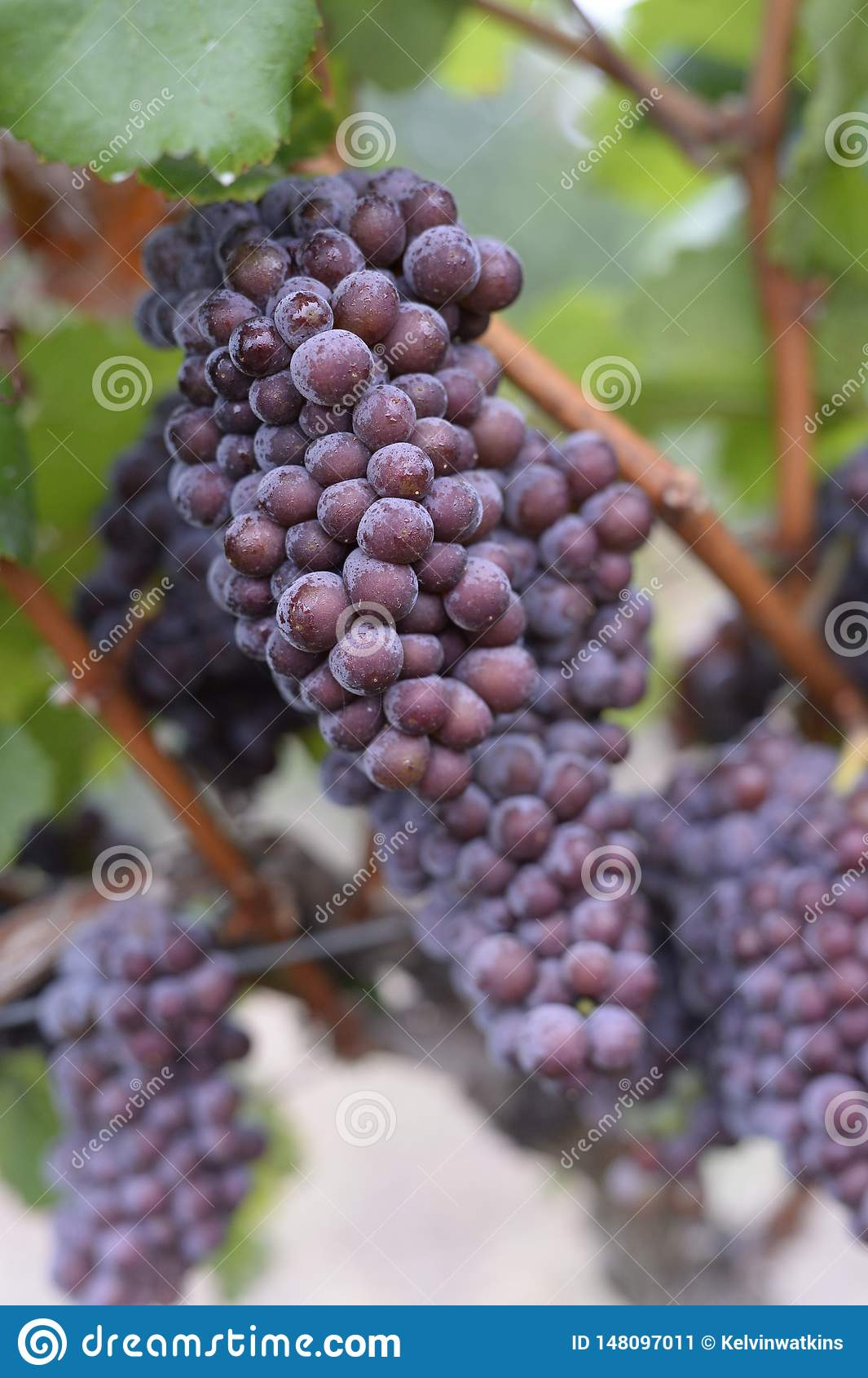 Uvas de vino en la vid
