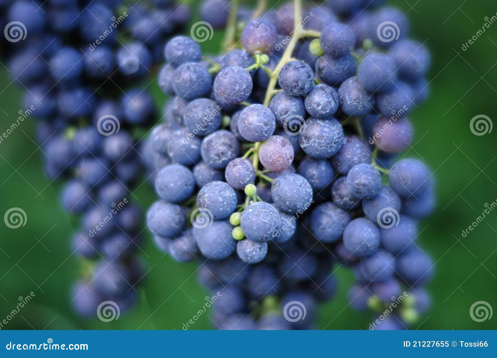 Uvas de vino rojo