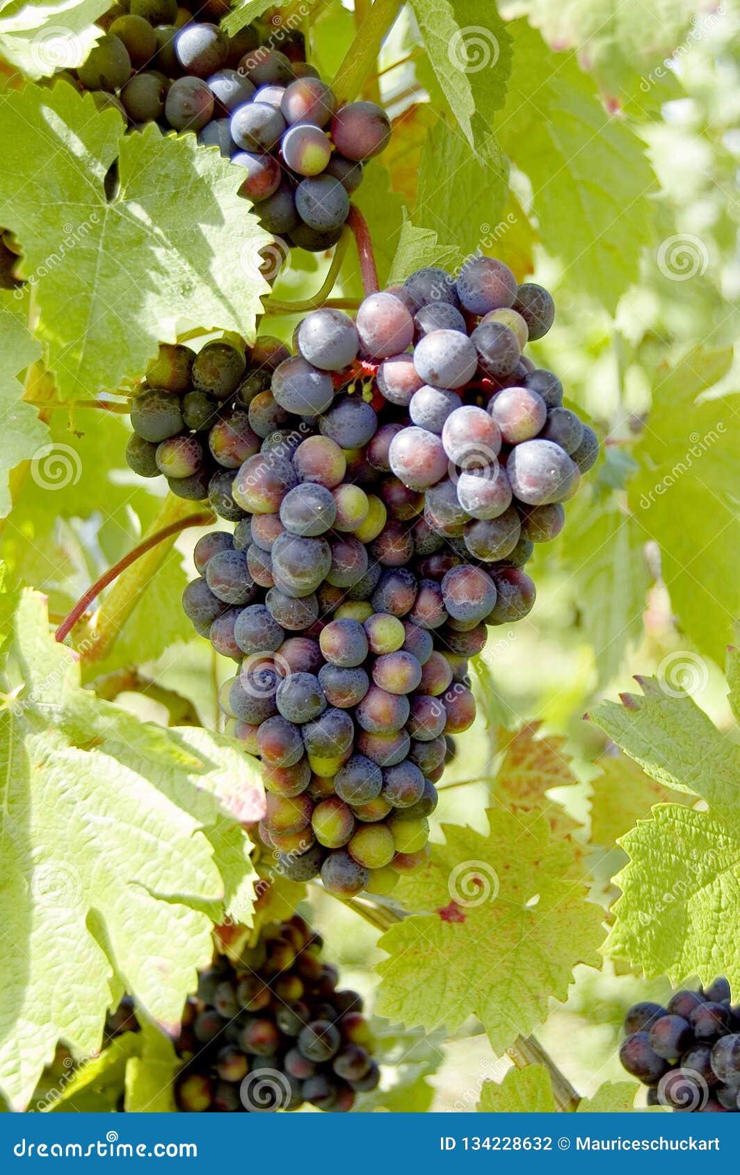 Uvas em uma vinha com fundo de madeira