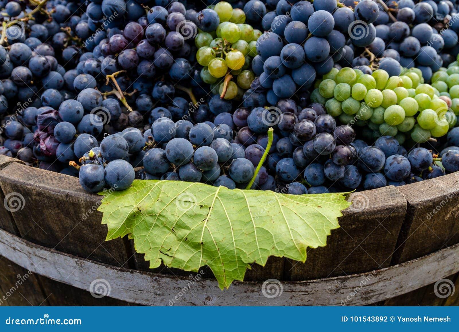 Uvas en un barril después de cosechar