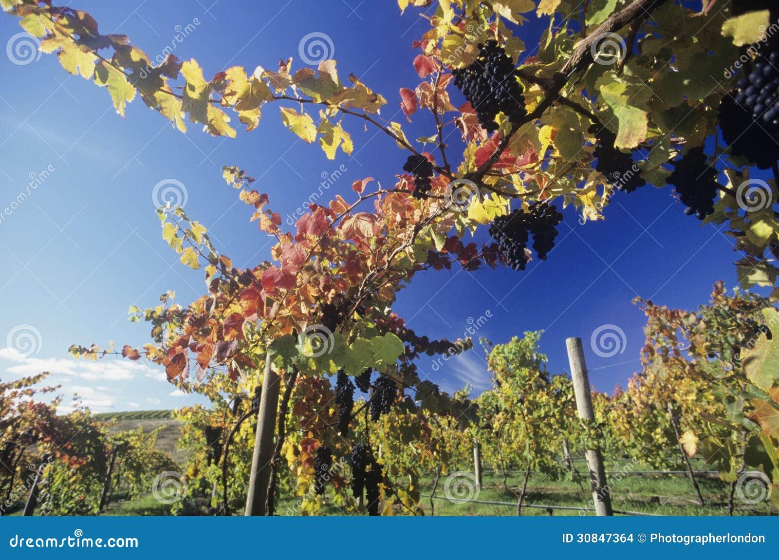 Uvas en vides en el valle Victoria Australia de Yarra del viñedo