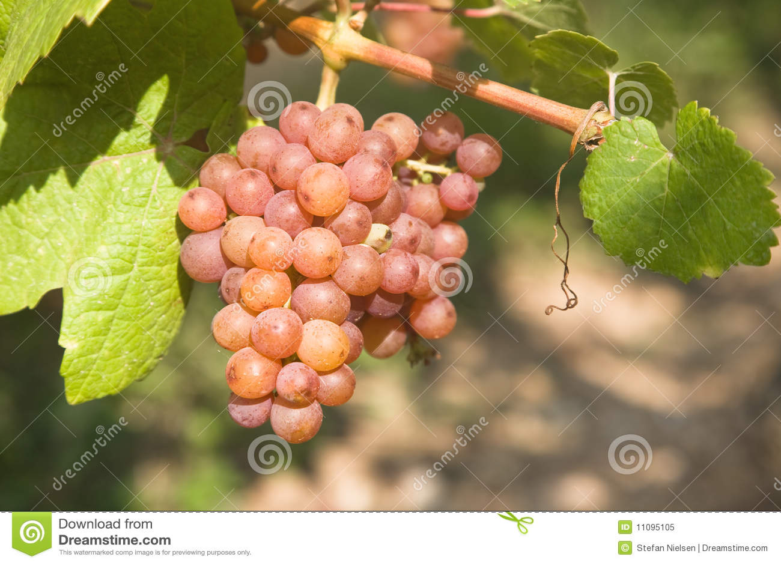 Uvas listas para la cosecha
