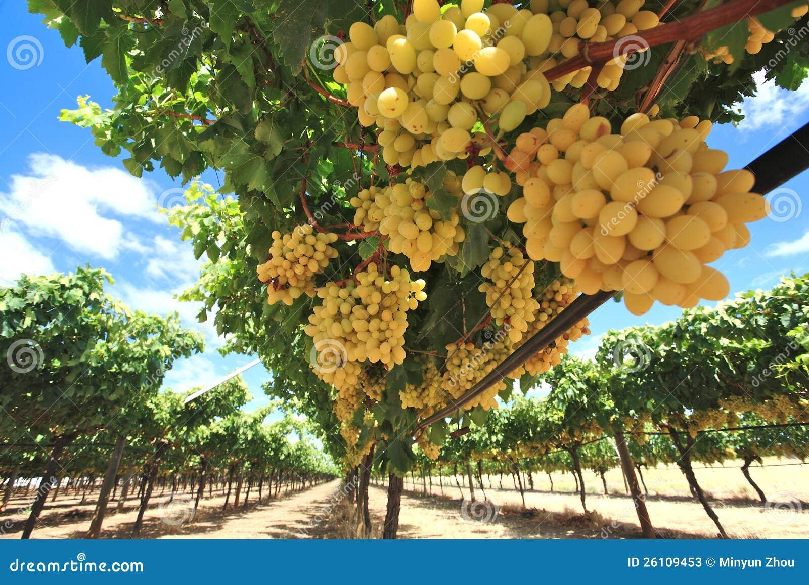 Uvas na jarda do vinho