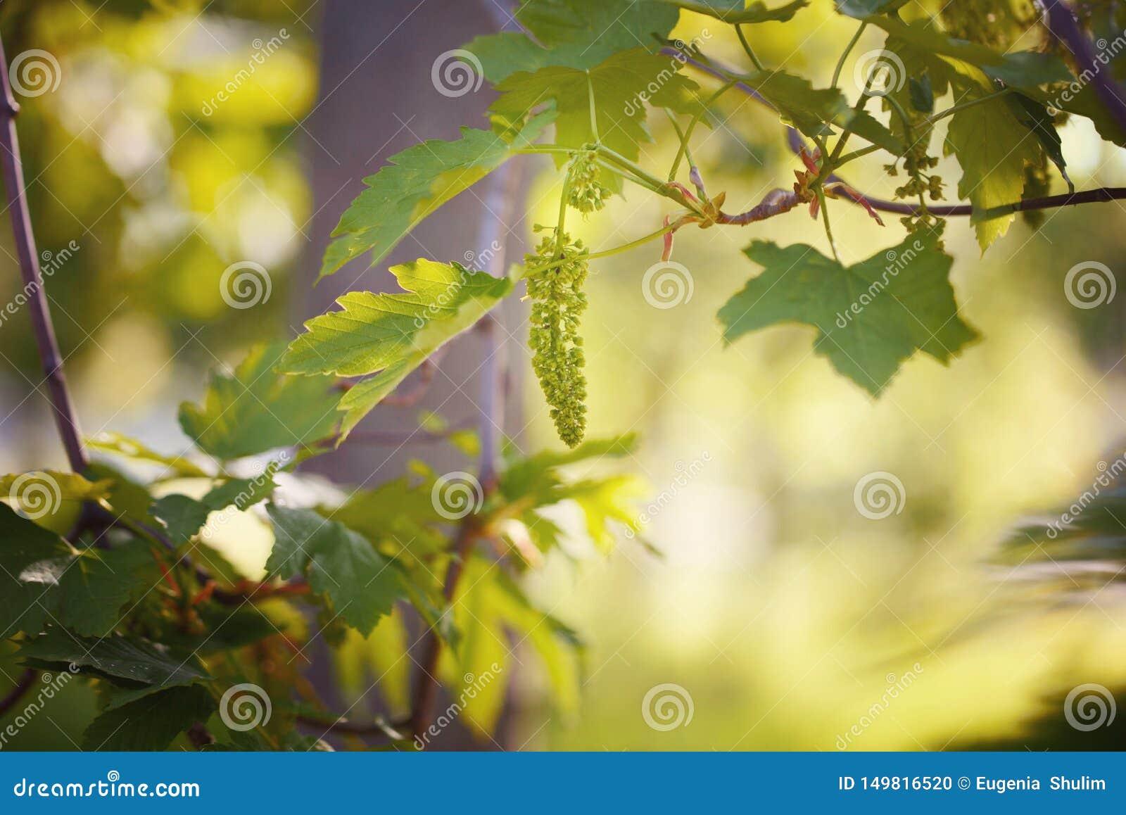 Uvas novas em um fundo bonito do por do sol Uvas novas bonitas no jardim