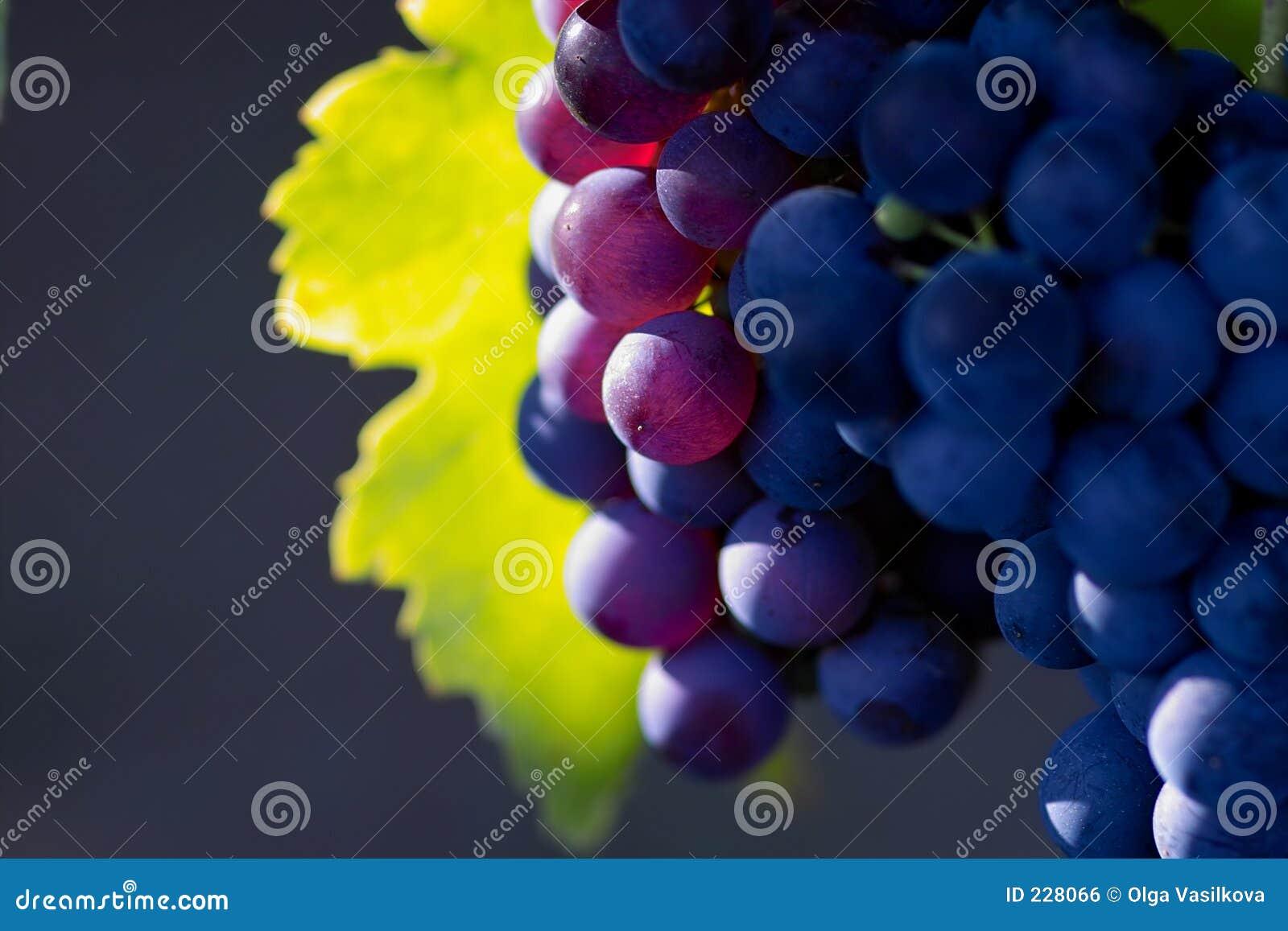 Uvas para vinho violetas
