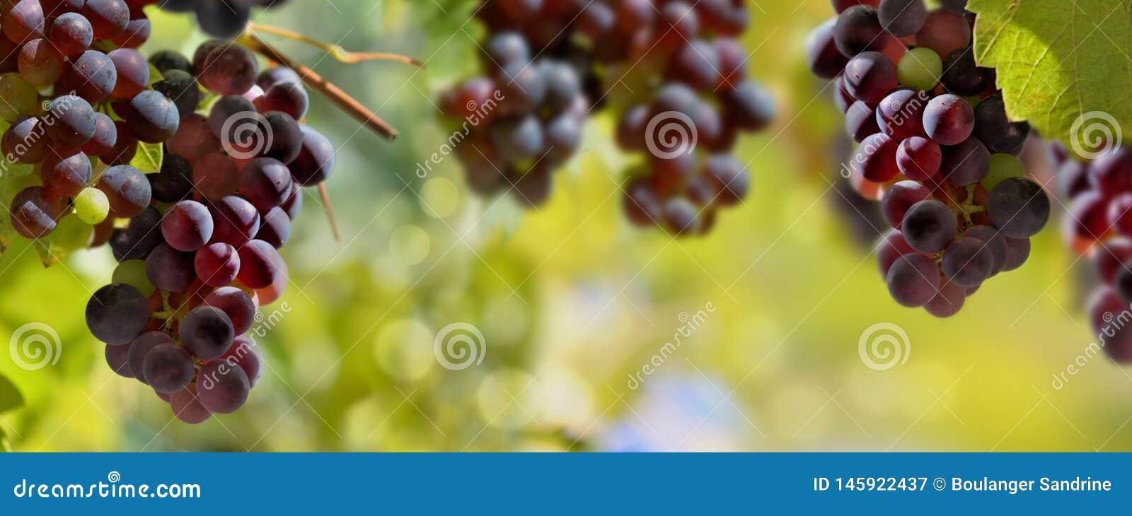 Uvas pretas que crescem na ilumina??o do vinhedo pelo sol
