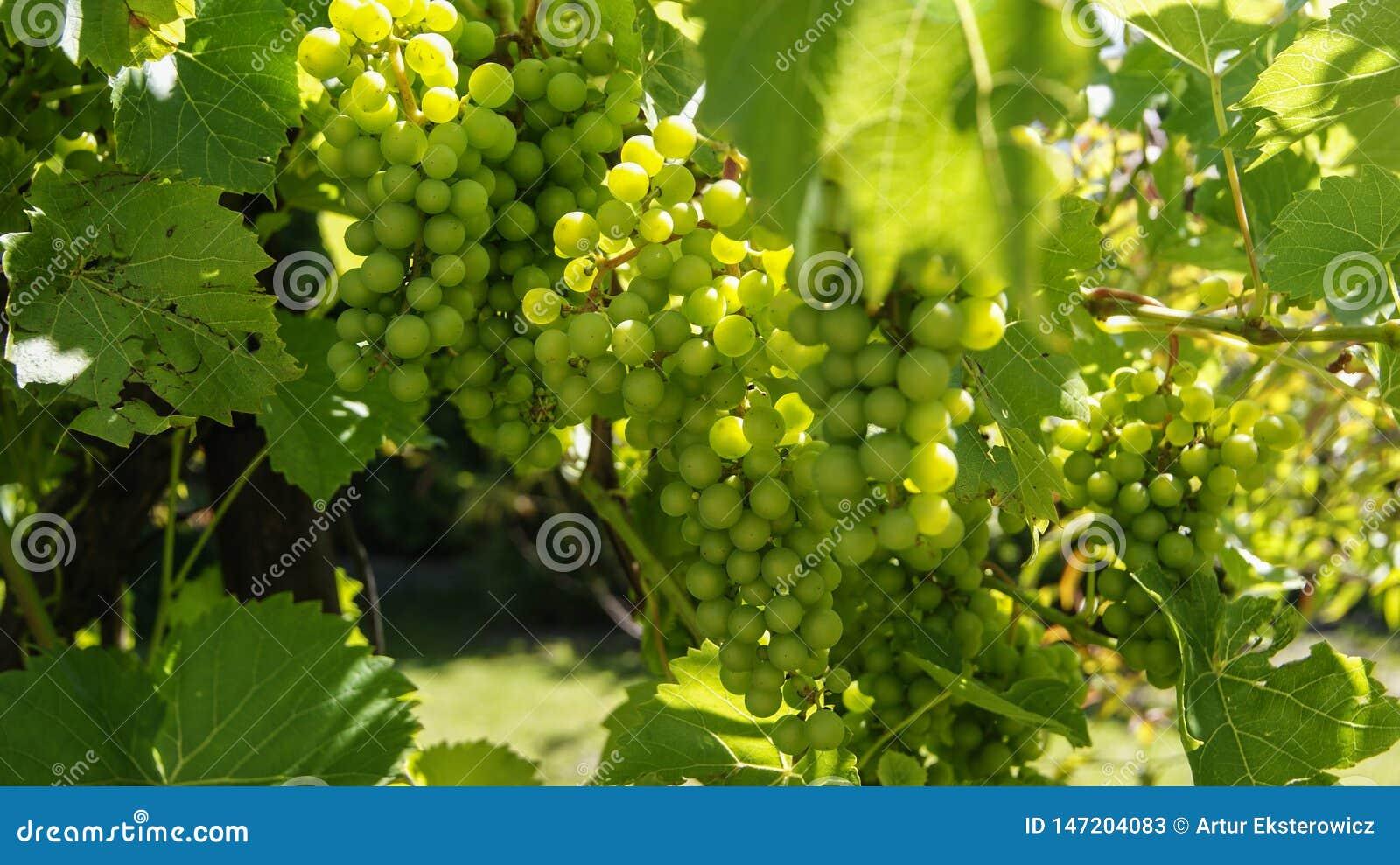 Uvas verdes no arbusto