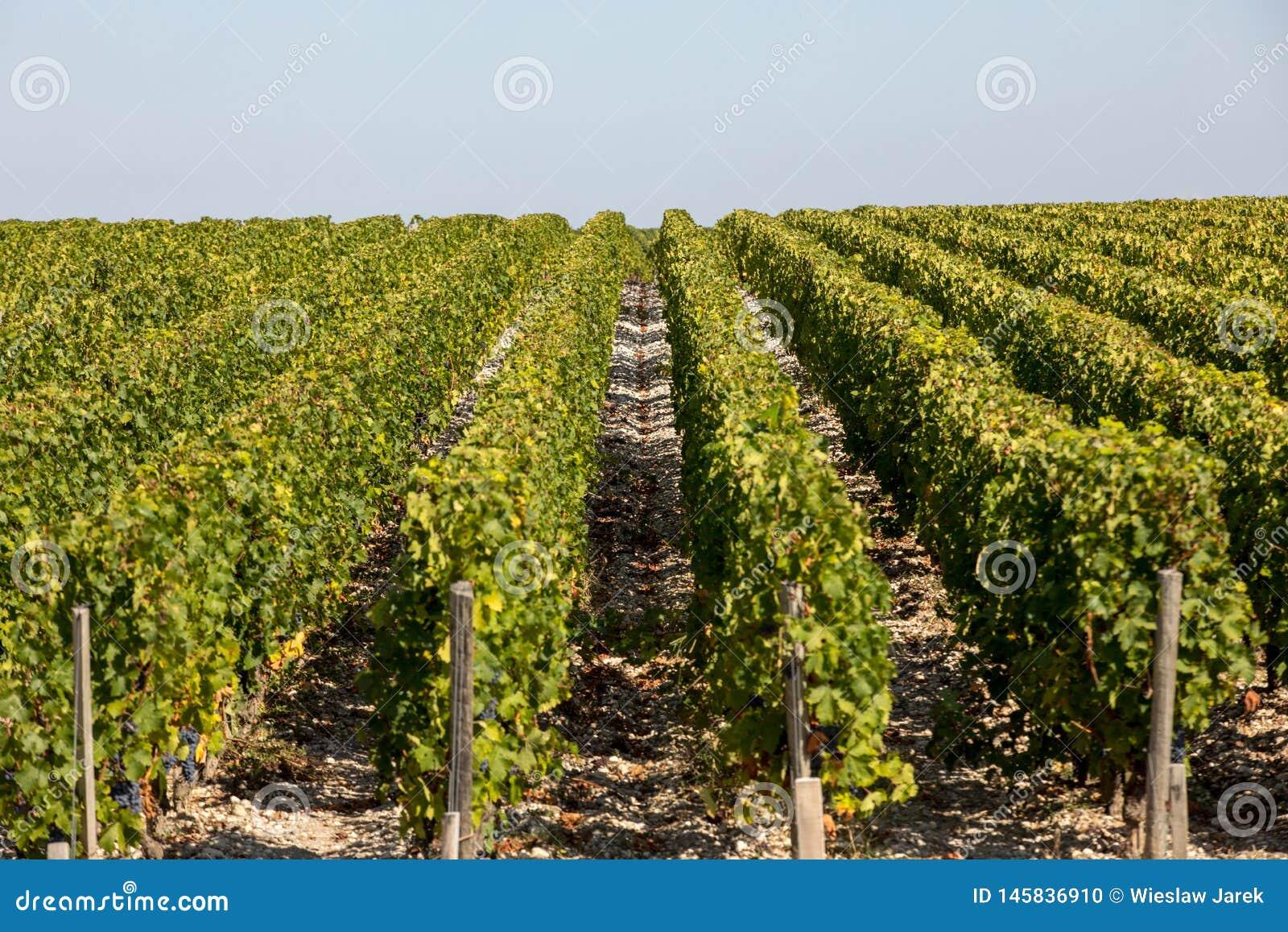Uvas vermelhas maduras em fileiras das videiras em um vienyard antes da colheita do vinho em Margaux