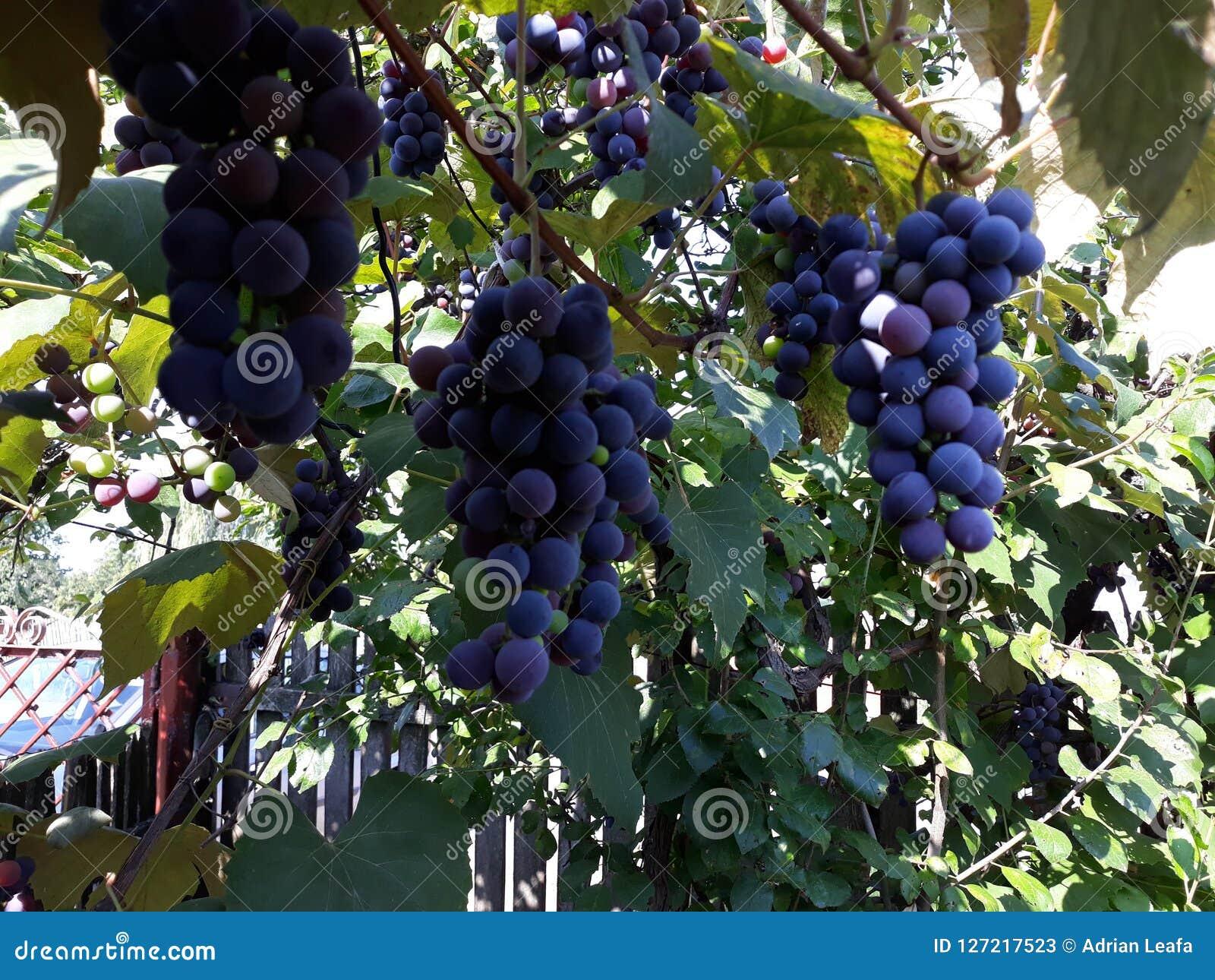 Uvas violetas en la vid