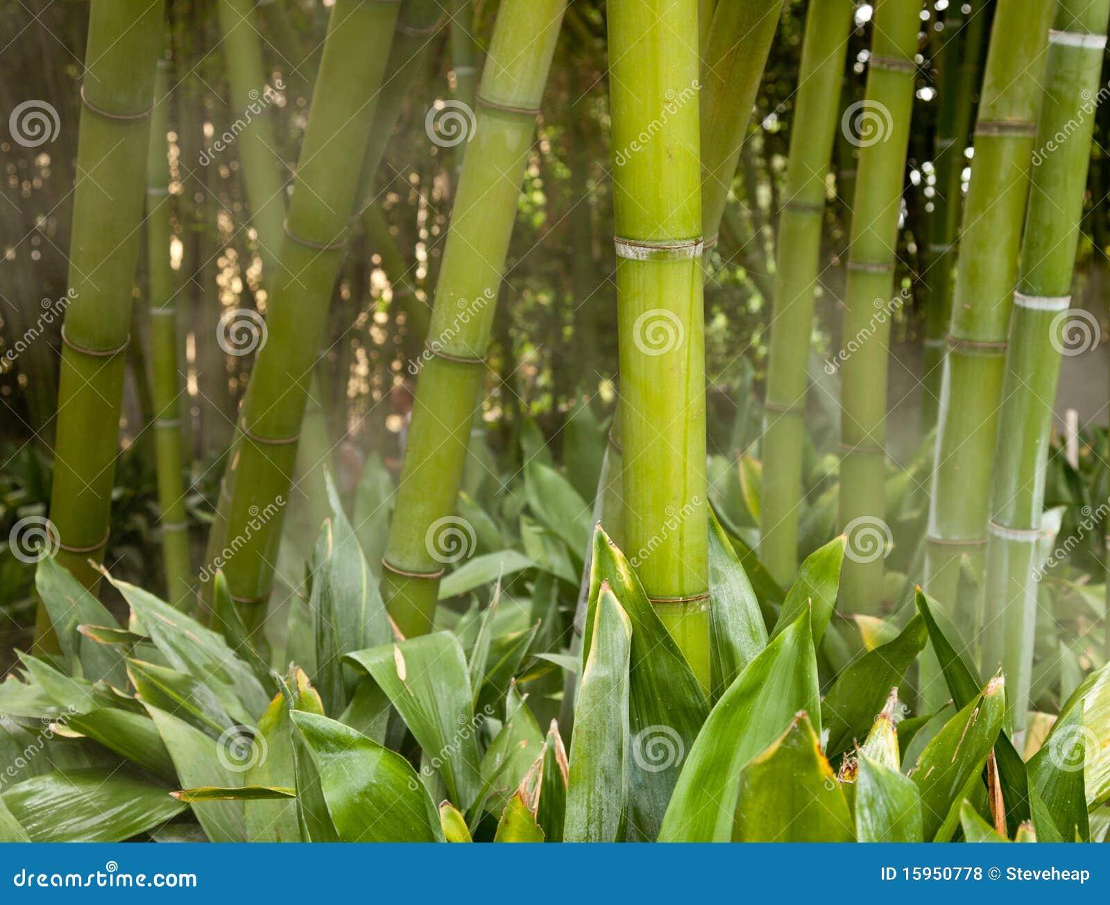 Vástagos de bambú brumosos