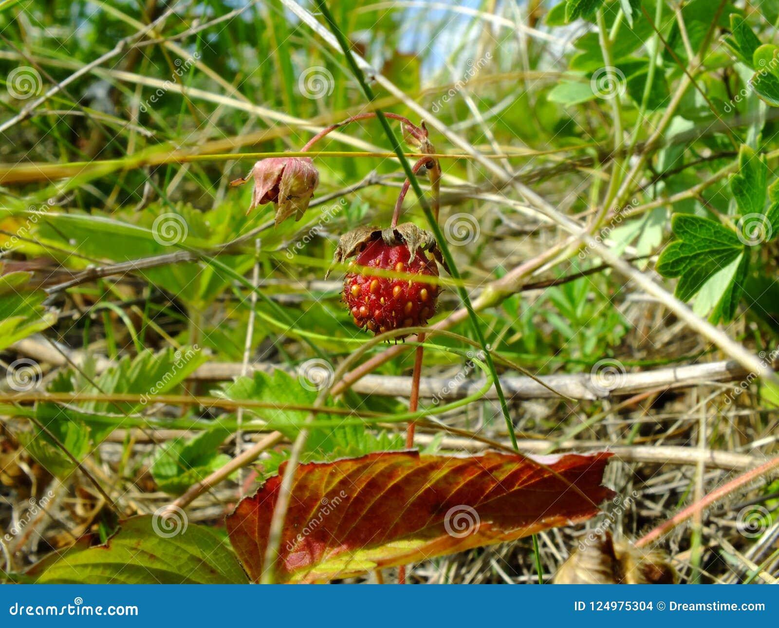 Vésca för Fragà ¡ ria som omges av växter