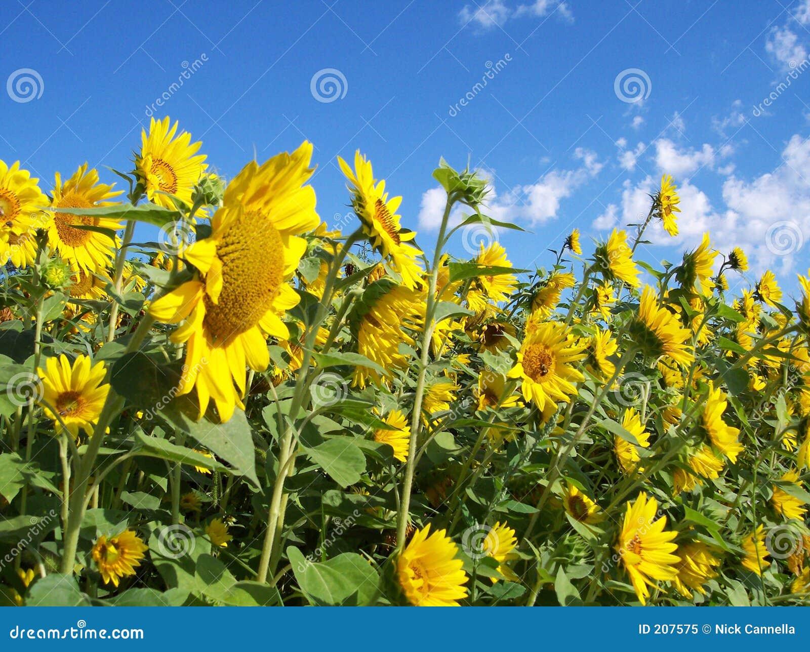 Vägg sunflowers2