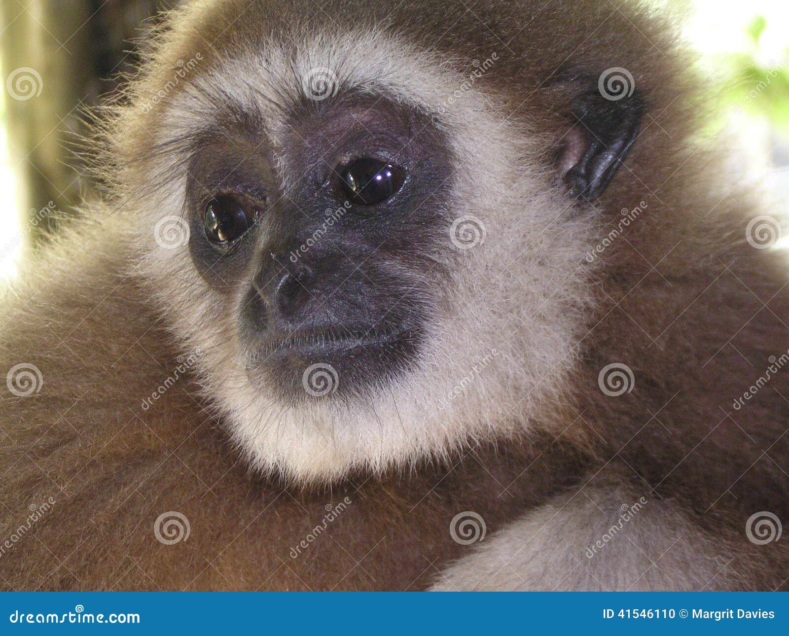 Vänliga Gibbon