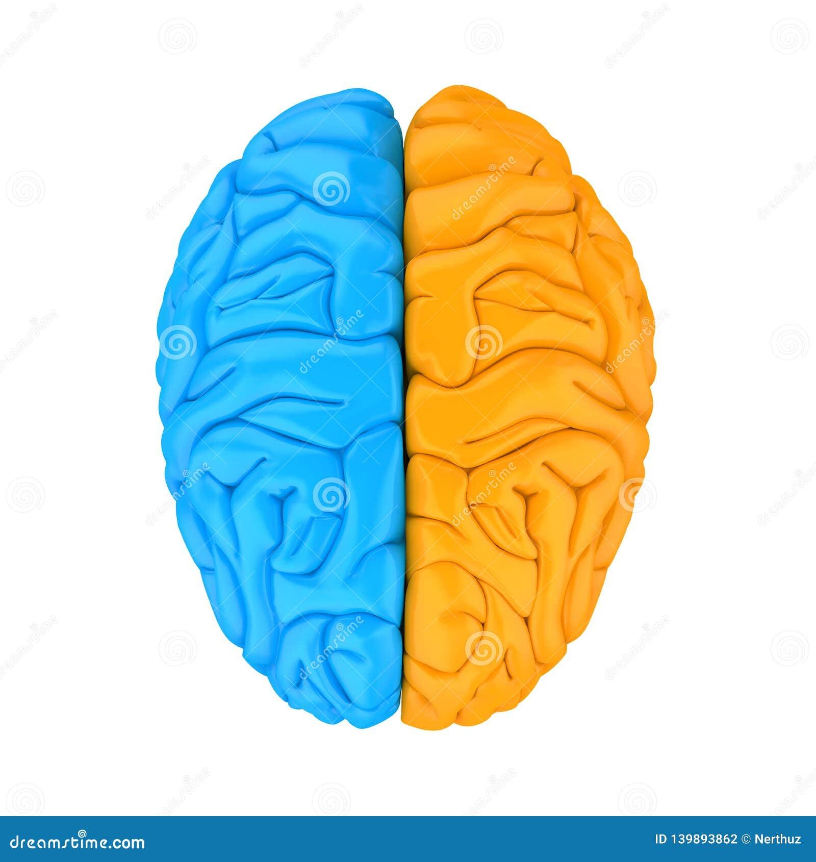 Vänster och höger människa Brain Anatomy Illustration