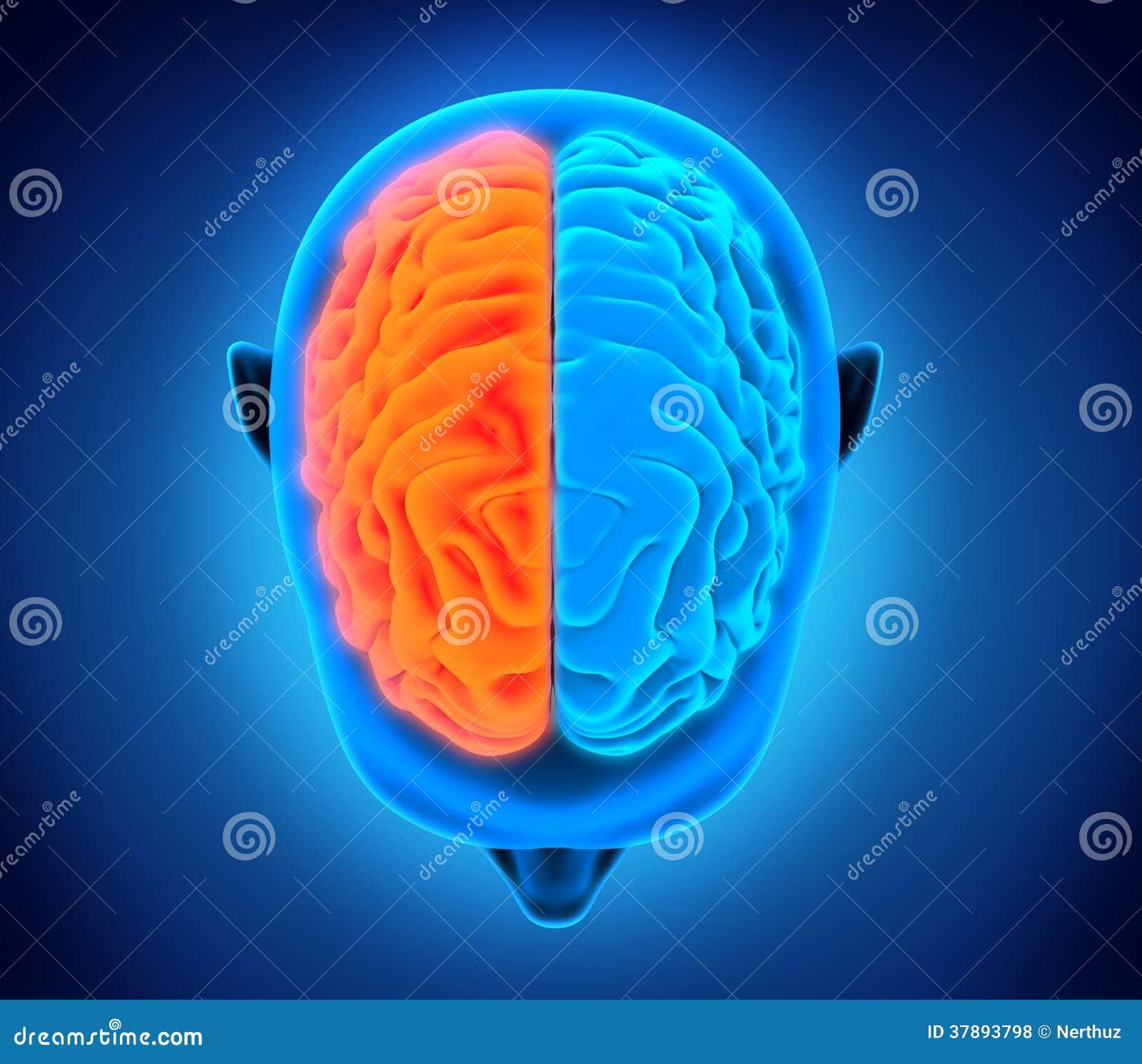 Vänster och höger mänsklig hjärna