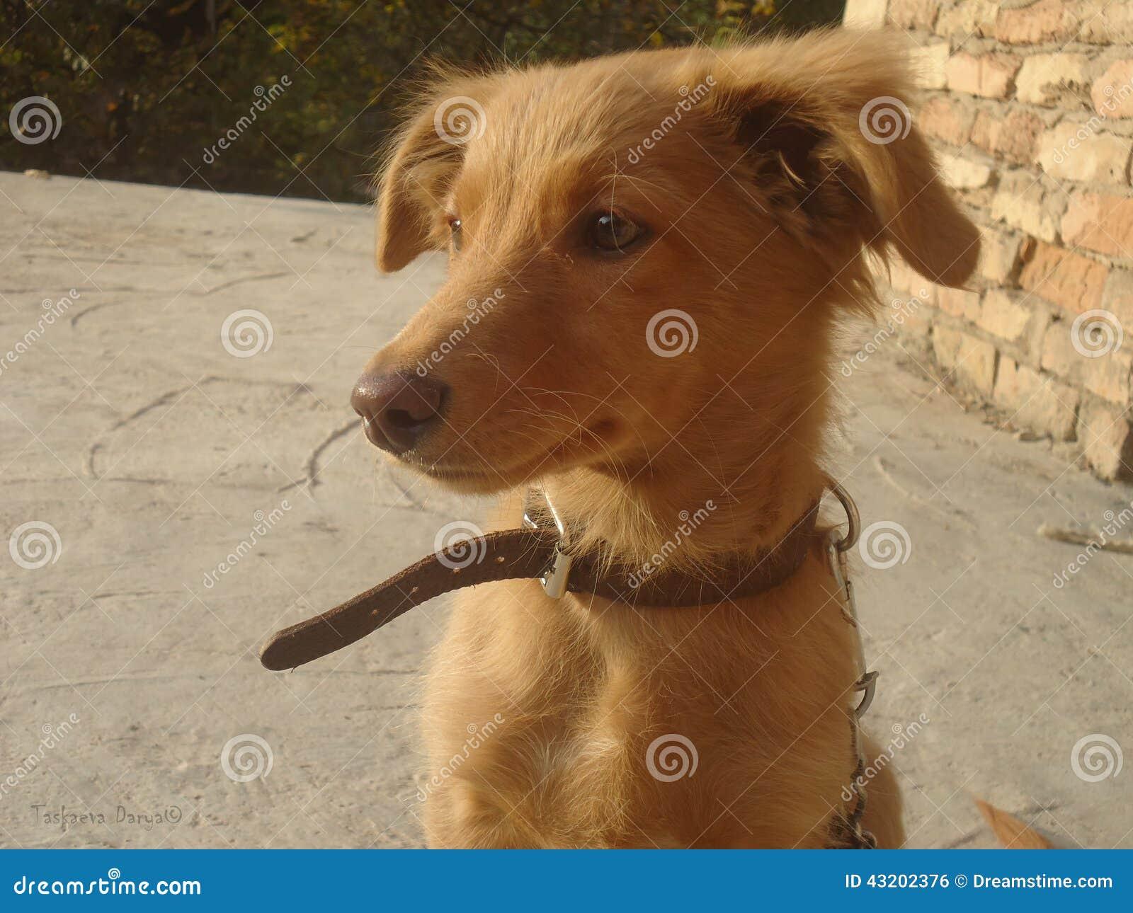 Download Vänta arkivfoto. Bild av förälskelse, vänta, räv, hund - 43202376