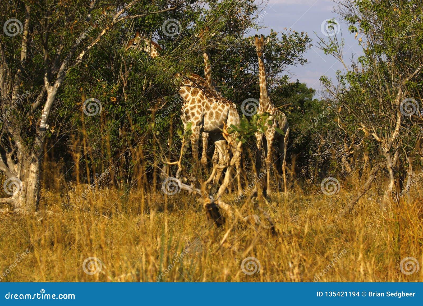 Världens mest högväxta däggdjurs- giraff i den afrikanska busken