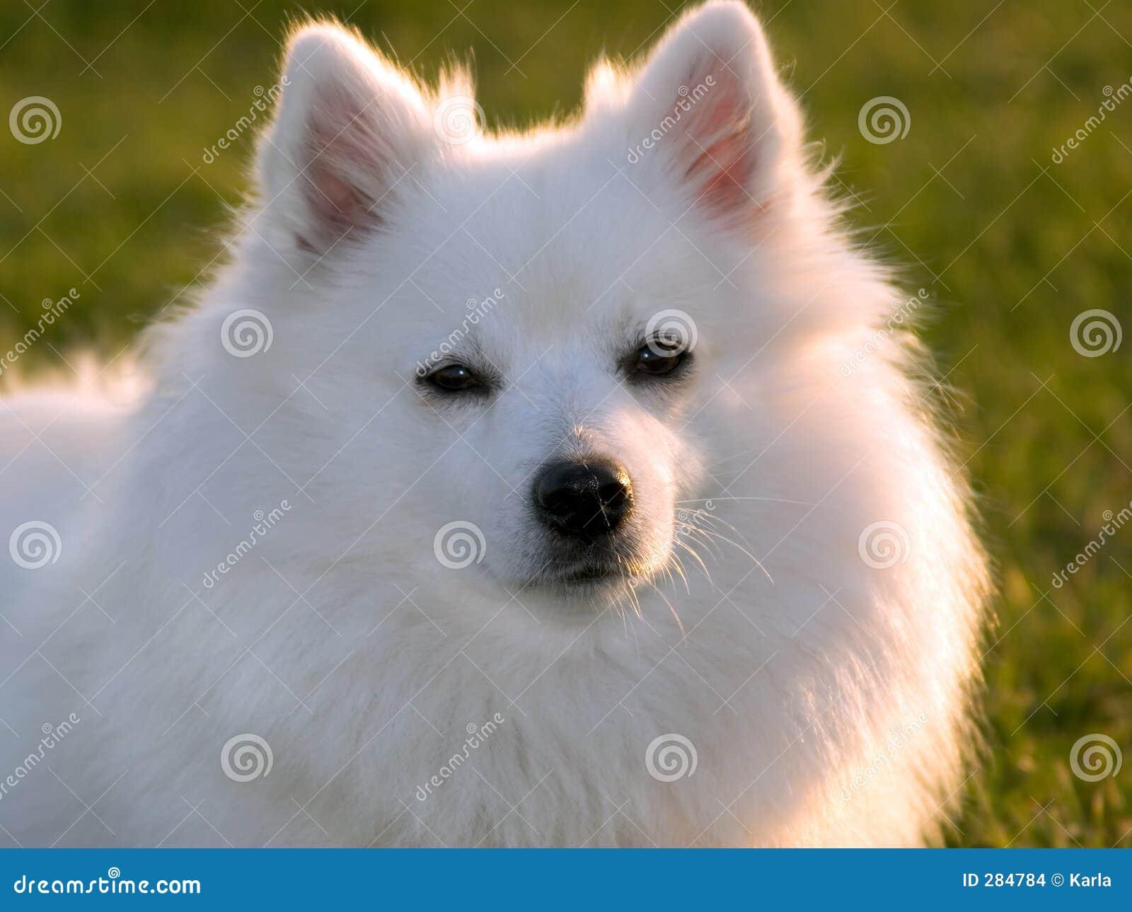 Värma sig white för hundaftonsolljus