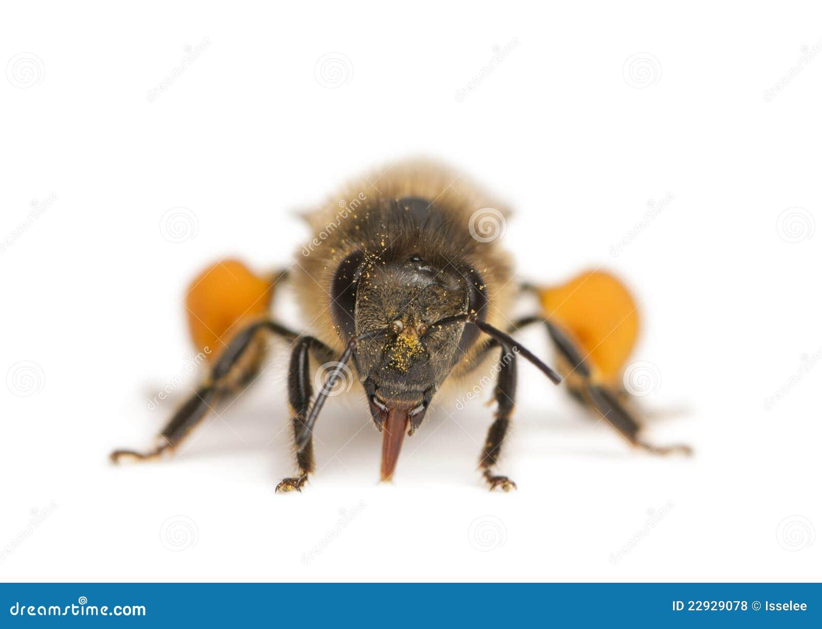 Västra europeisk honung för apisbi