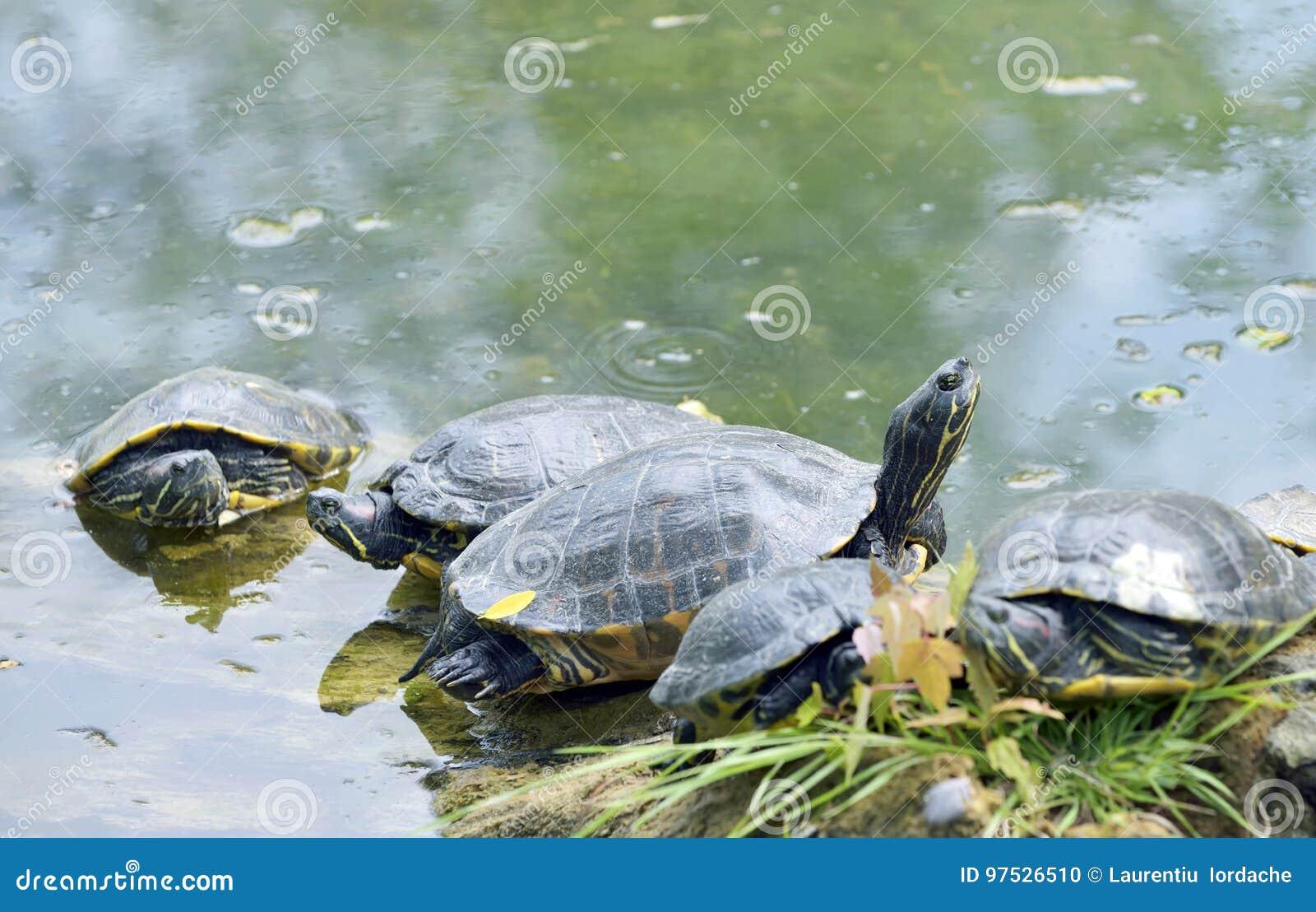 Västra målad sköldpaddachrysemyspicta