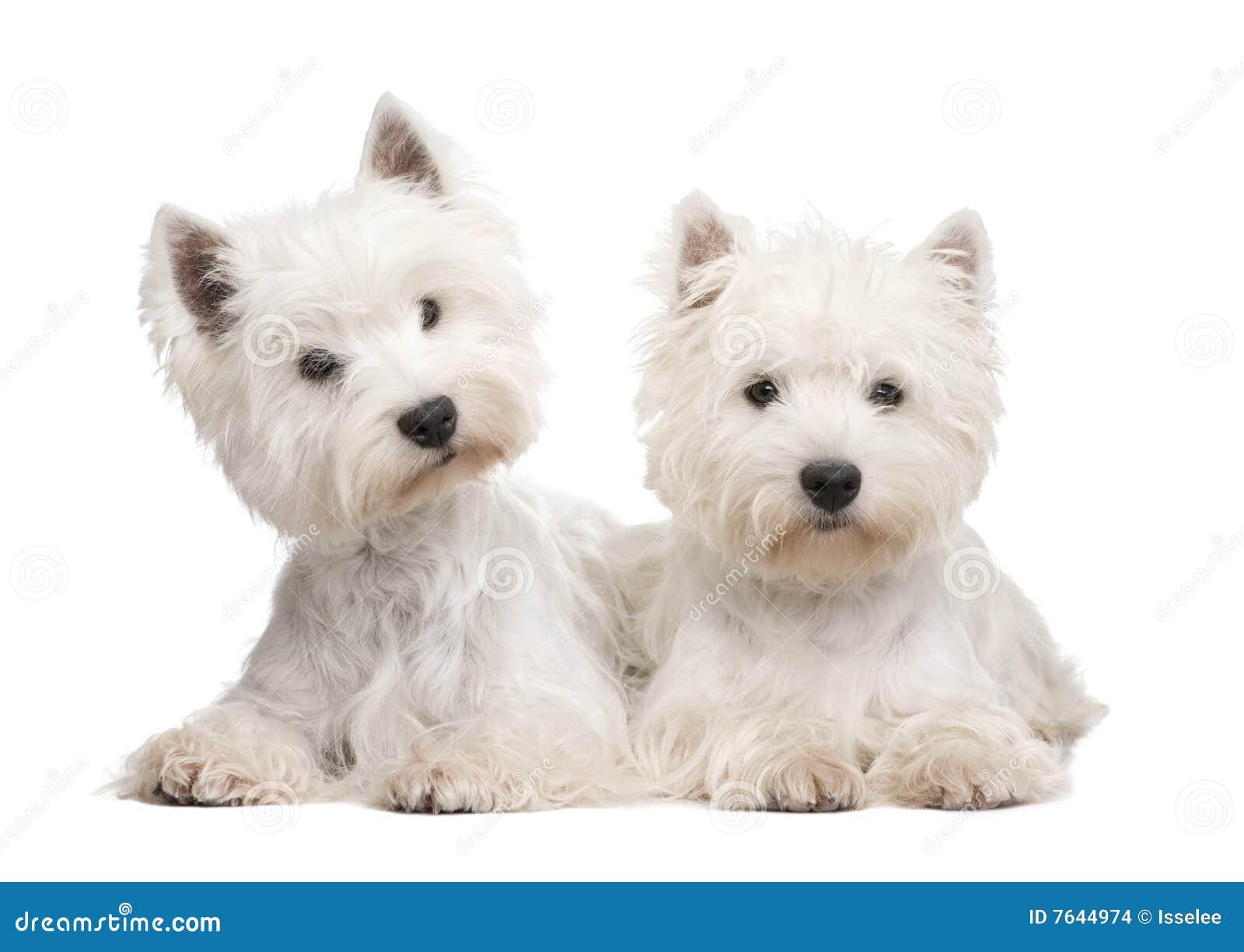 Västra white för höglands- terrier