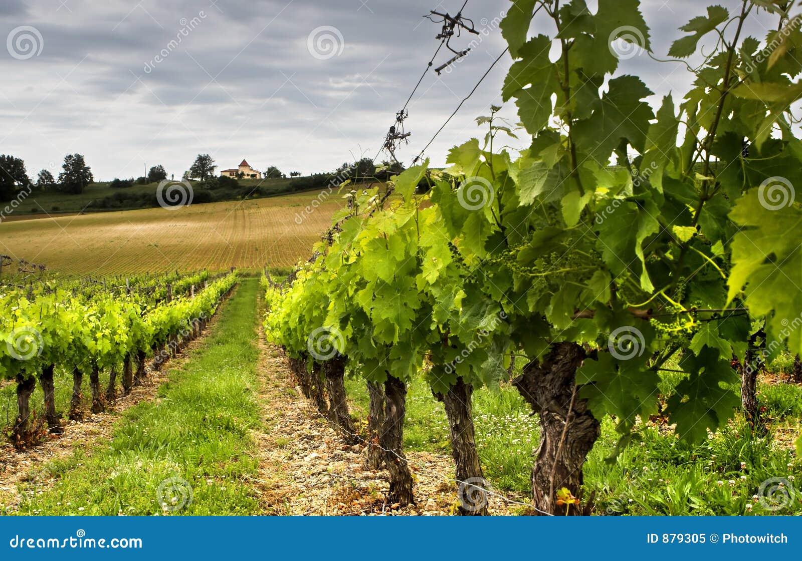 Växa för druvor