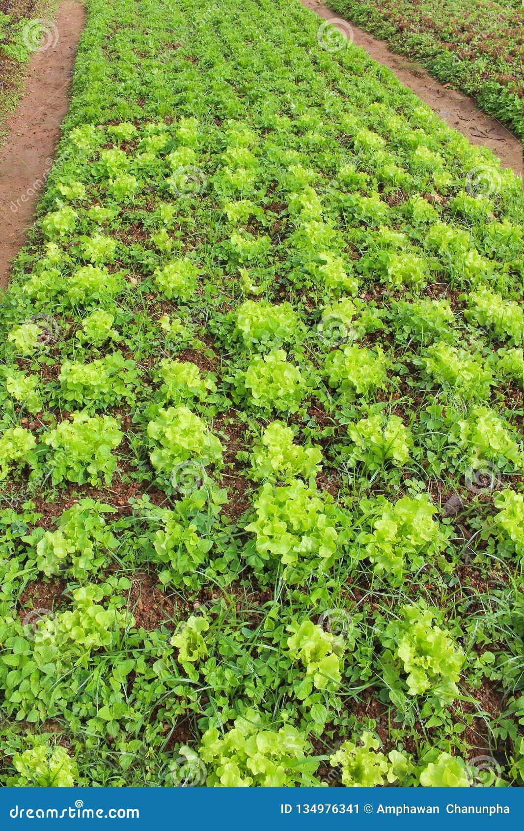 Växande grön grönsallat eller lactuca som är sativa i trädgårdbakgrund