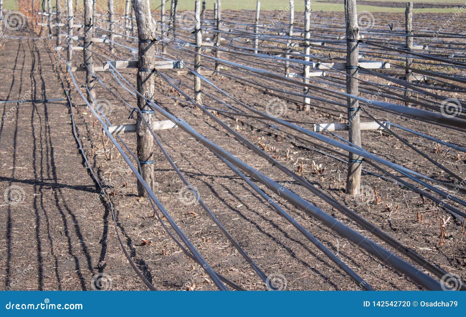Växande hallon i rader, omsorg för hallonbuskar