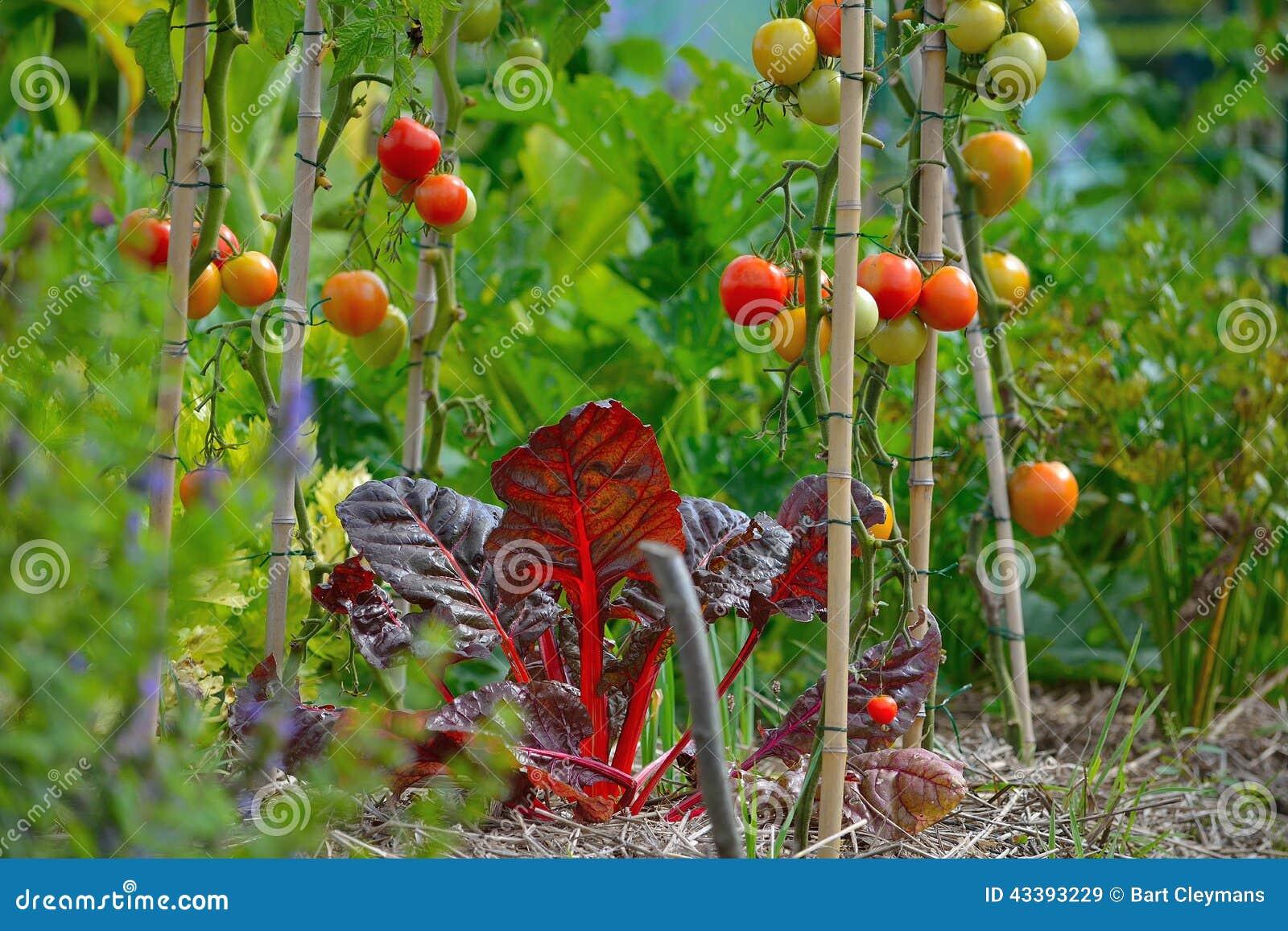 Växande kultur, salade och tomater