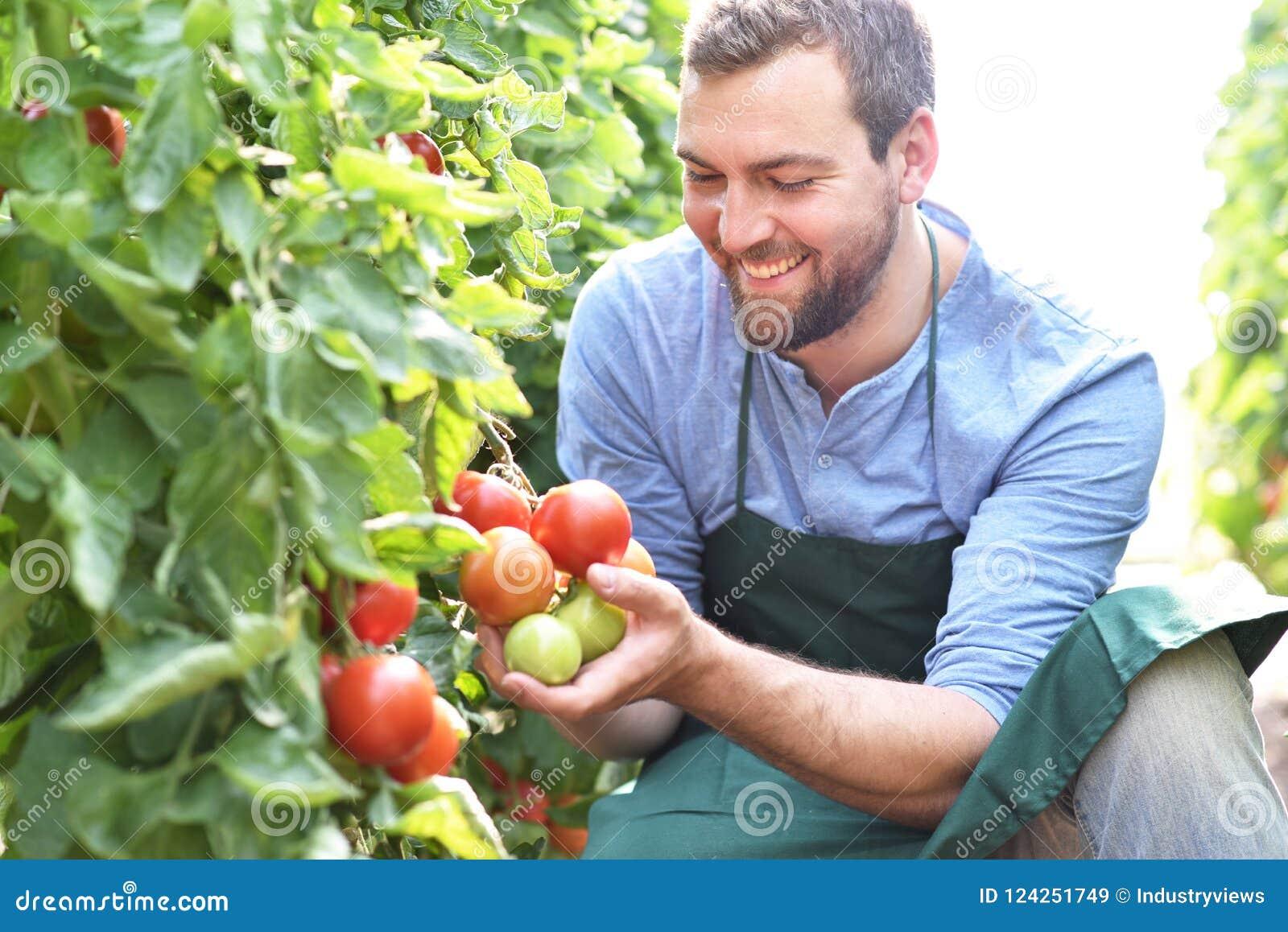 Växande tomater för lycklig bonde i ett växthus
