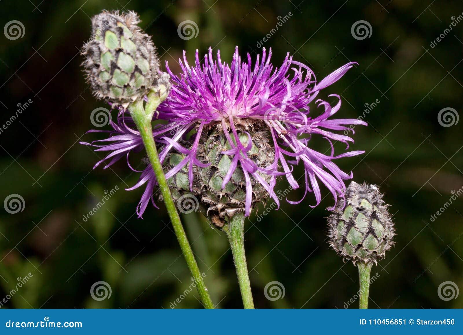 Växer den härliga blomman för tistel tre på en grön äng Levande natur