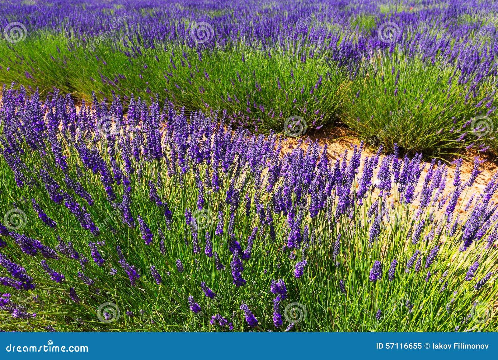 Växt av lavendel